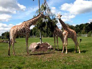 Jaderpark_Giraffen-neu